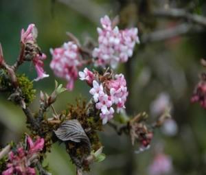 Viburnum Bodnantense